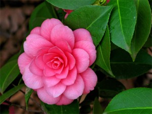 камелия для смазки часов - camellia dlya smazki chasov