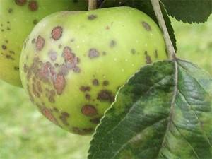 парша яблони - parsha yabloni