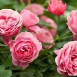 Повторное цветение роз