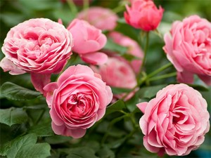 повторное цветение роз - povtornoe tsveteniye roz