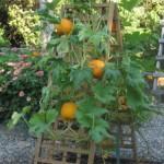 Как вырастить тыкву на шпалере