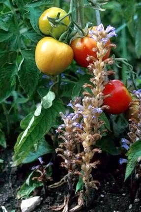 помидоры, пораженные заразихой - pomidory, porazhennye zarazihoy