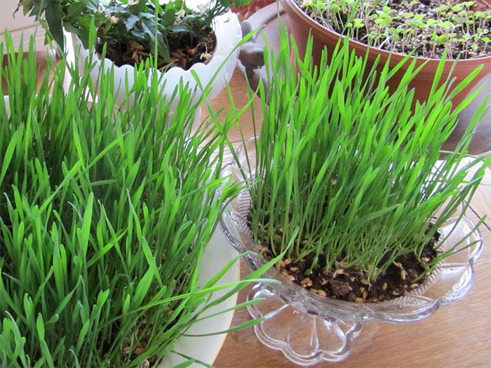 выращивание травы в горшке - vyraschivaniue travy v gorshke