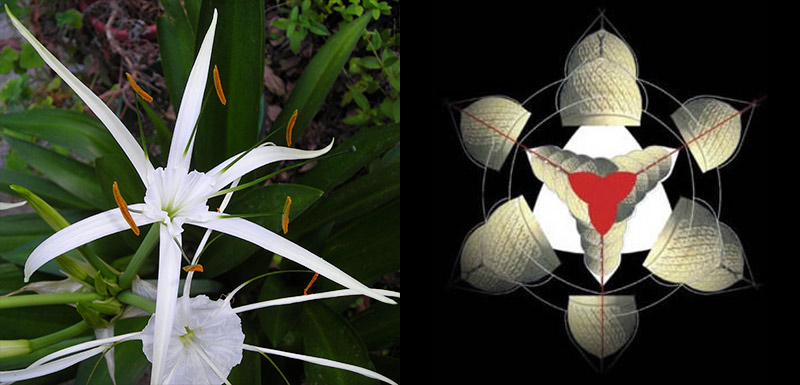 цветок гименокаллис и структура башни и парка Бурдж-Халифа - tsvetok hymenocallis i struktura bashni i parka Burj Khalifa