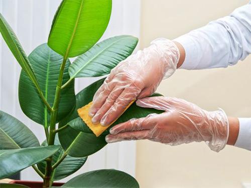 протирайте листья влажной губкой